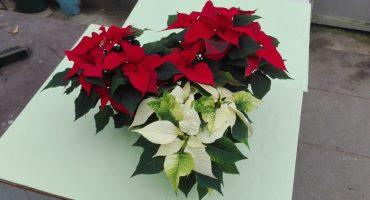 julestjerner gartneriet kjærulff